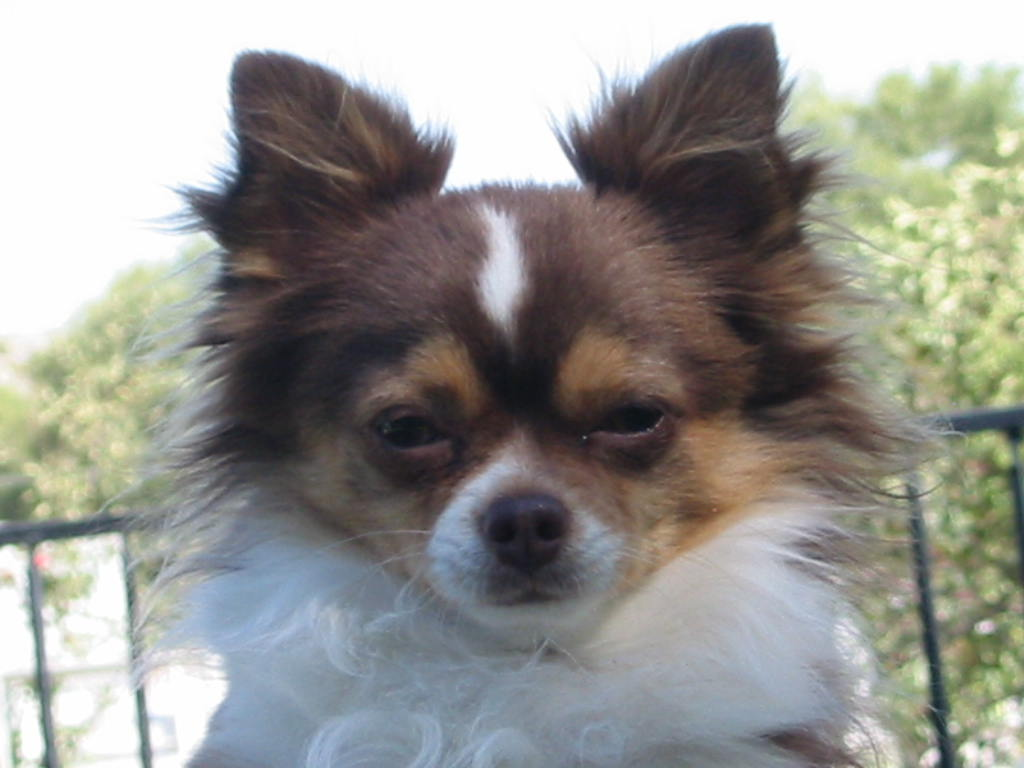 Chihuahua Rescue Truckee Meadows Home