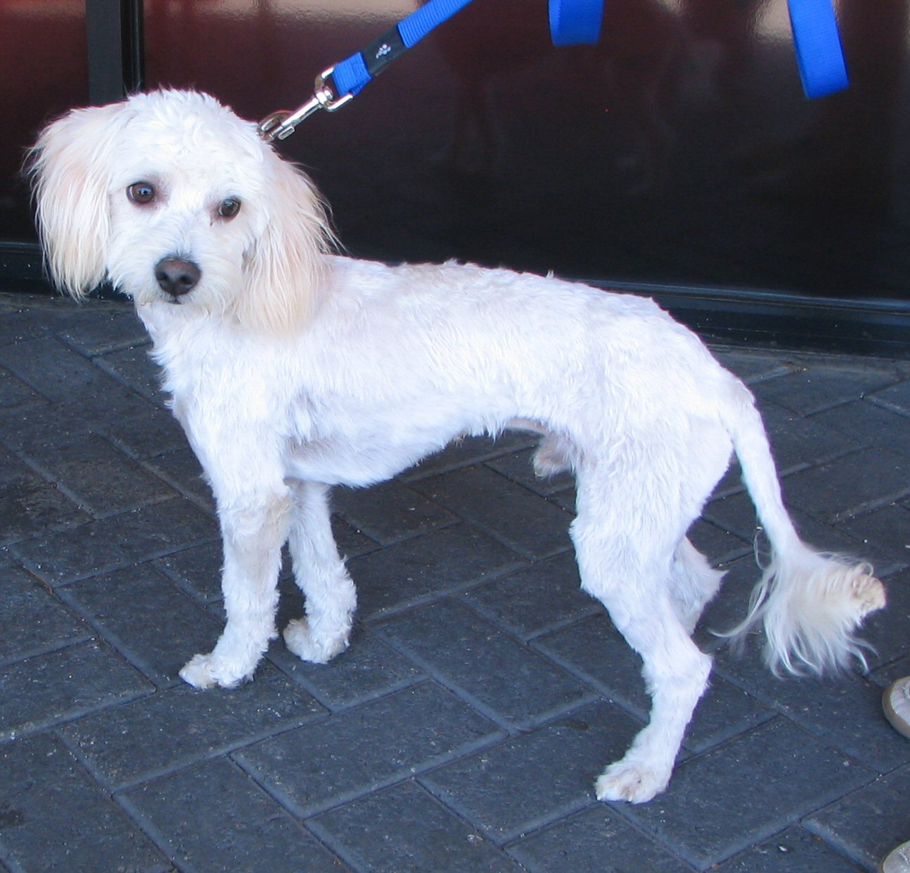 Chihuahua rescue truckee meadows saved with forever homes marley is a maltese poodle mix marley was a mess when he got here and his hair was so matted that we took him to the groomers and got him a winobraniefo Image collections